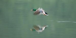 18 - Ilija_Dadasovic_Tribaljsko_jezero_patka u letu